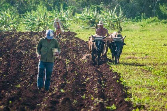 """La agricultura tunera busca su reanimación tras el paso de """"Irma"""""""