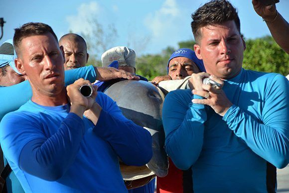 Trasladan delfines del Centro Recreativo Delfinario Cayo Guillermo, hacia el de la provincia de Cienfuegos, ante la inminencia del paso del Huracán Irma, por la cayería norte de Ciego de Ávila. Foto: ACN/ Osvaldo Gutiérrez.