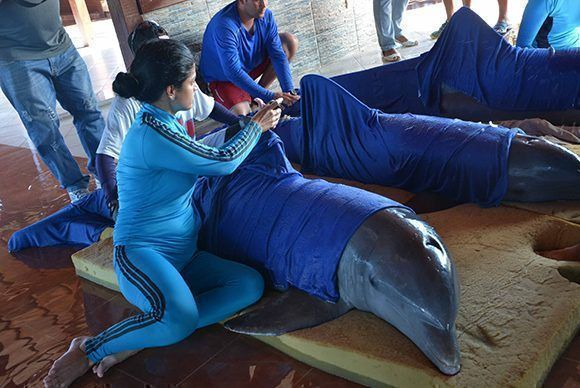 Cuidadores sedan a los delfines del Centro Recreativo Delfinario Cayo Guillermo,  para su traslado hacia el de la provincia de Cienfuegos, ante la inminencia del paso del Huracán Irma, por la cayería norte de Ciego de Ávila, Cuba. Foto: ACN/ Osvaldo Gutiérrez.