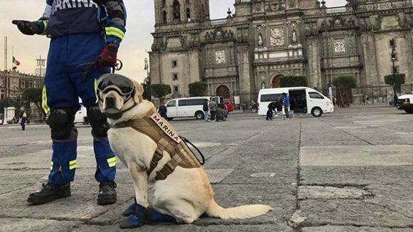 Frida, la heroica perrita mexicana que busca sobrevivientes del terremoto. Foto: @PresidenciaMX