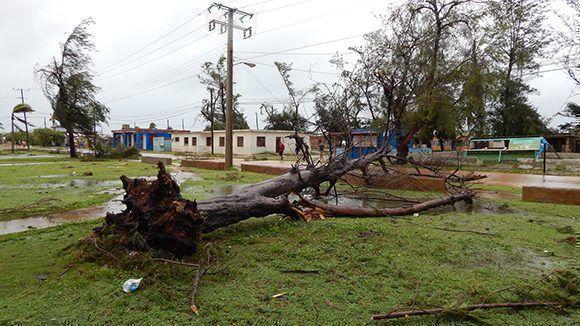 Árboles arrancados de raíz en Gibara por la fuerza de Irma. Foto: Danier Ernesto González/ Cubadebate.