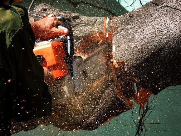 El corte de los troncos derribados facilita el proceso de limpieza y recogida. Foto: Darío Gabriel Sánchez García/CUBADEBATE.