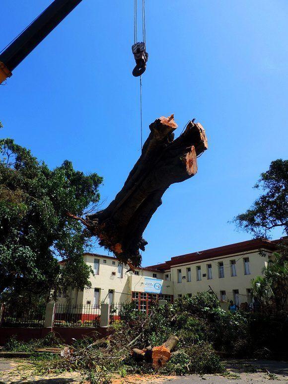 También se ha priorizado en levantamiento de troncos de grandes proporciones que hasta este momento obstaculizaban importantes vías de tránsito como la calle G. Foto: Darío Gabriel Sánchez García/CUBADEBATE.