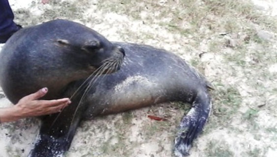 Anita, el león marino que visitó El Cayuelo. Foto: Radio Banes.