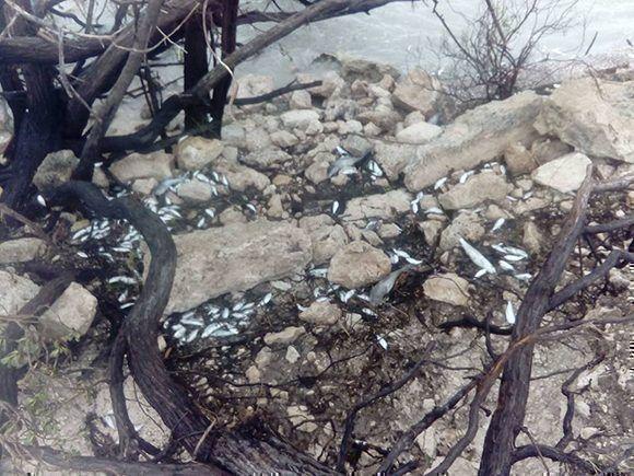 Peces muertos en el pedraplén que de la cayería de Ciego de Ávila. Foto: Lisandra López/ Facebook.