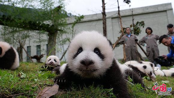 36-crias-de-osos-panda-4