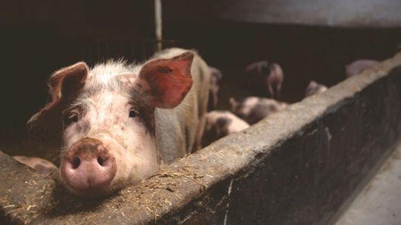 cerdo-en-camboya-mtante