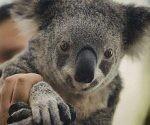 koala-australia-02