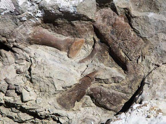 Es muy probable que sea un ejemplar de la especie Teratophoneus curriei. Foto: Universidad de Utah