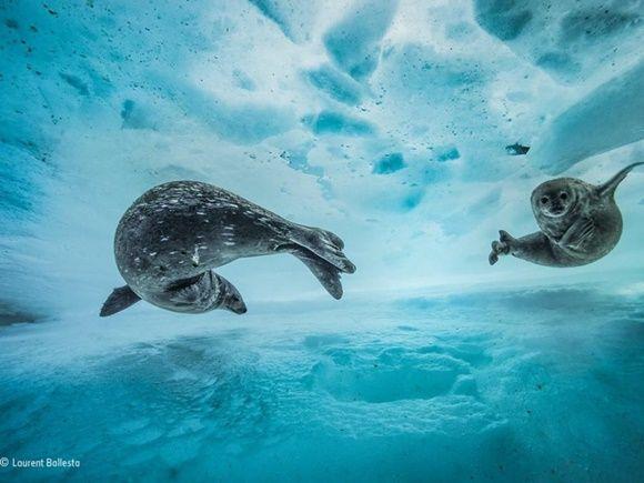 """""""Swim gym"""" de Laurent Ballesta, de Francia. Finalista: Comportamiento (mamíferos)"""