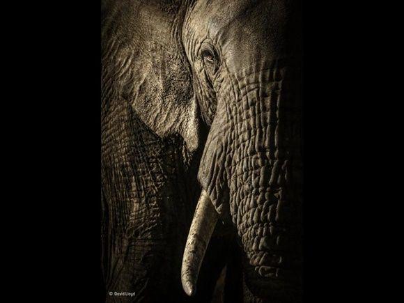 """The power of the matriarch, """"El poder de la matriarca"""" por David Lloyd, de Nueva Zelanda / Reino Unido. Finalista: Retratos de Animales."""