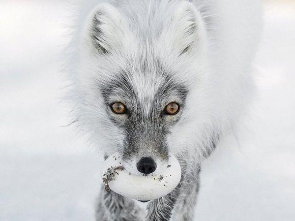 Un zorro ártico porta un huevo que robó del nido de un ganso de las nieves y se dirige a un buen lugar donde enterrarlo.