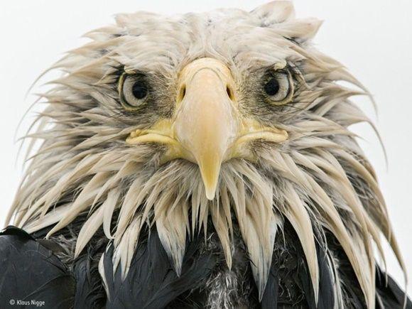 """""""Águila intrépida"""" por Klaus Nigge, de Alemania. Finalista: Retratos de Animales."""