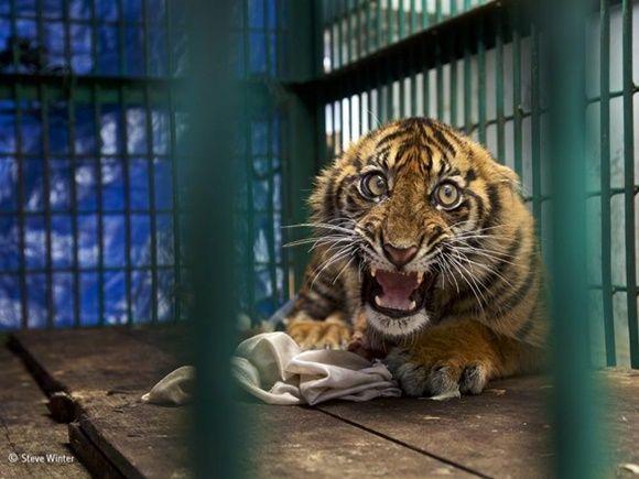 """""""Saved but caged"""" (Salvado pero enjaulado) de Steve Winter, Estados Unidos. Finalista: Vida salvaje."""