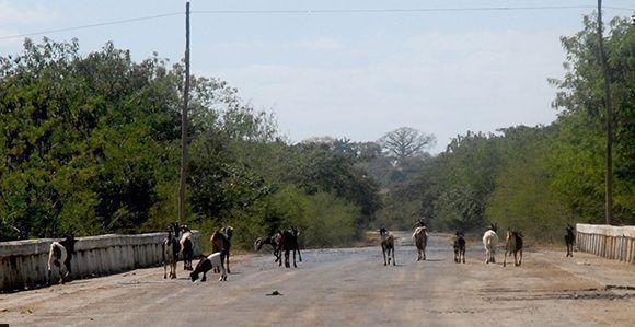 Los animales sueltos en las vías, son actualmente una de las causas principales de los accidentes del tránsito en la provincia Sancti Spíritu. Foto: OscarAlfonso/ ACN.