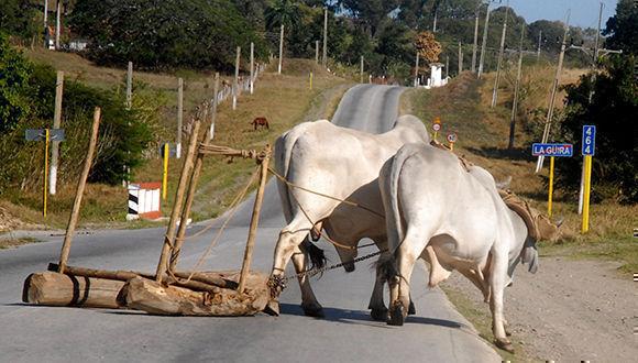Escenas como esta son habituales en la provincia Sancti Spíritus, siendo este uno de los motivos que más inciden en la ocurrencia de accidentes del tránsito.  Cuba, 22 de noviembre de 2017. ACN FOTO/Oscar ALFONSO SOSA/ogm
