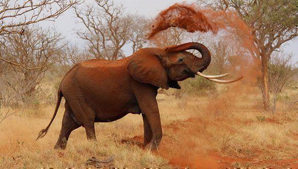 Trump suspende su aprobación de importar partes de elefantes cazados en Zimbabue y Zambia