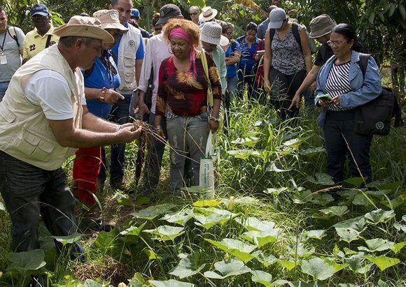 La finca Tierra Brava implementa hace tres años técnicas agroecológicas de agricultura de conservación. Foto: Ismael Francisco / Cubadebate