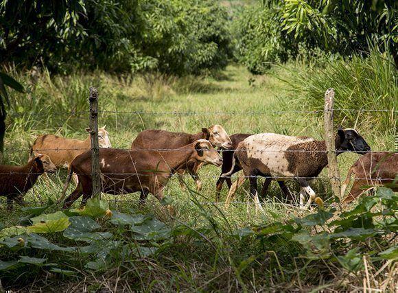La agricultura de conservación contempla el mínimo o ningún disturbio mecánico del suelo e incorpora el pastoreo de animales como técnica agroecológica. Foto: Ismael Francisco / Cubadebate