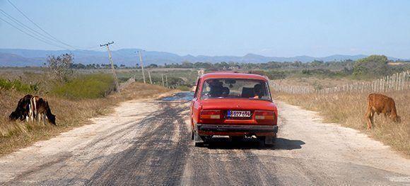 Una de las causas principales de accidentes del tránsito en la provincia Sancti Spíritus, está vinculada a los animales sueltos en la vía. Foto: OscarAlfonso/ ACN.