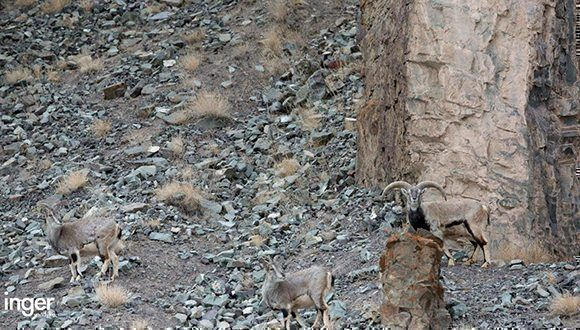 En esta foto hay un leopardo de las nieves, inetnta encontrarlo. Foto: Inger van Dyke.