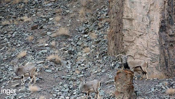 Antes de ver la respuesta que está más abajo, intenta encontrar al leopardo de las nieves en esta imagen captada en el Himalaya.   Foto: Inger van Dyke.