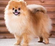 Compitieron cuidadores de perros de pura raza en las categorías de Bebé, de tres a seis meses de edad; Cachorro, entre seis y nueve meses; Joven, entre nueve y 18 meses; Adulto, de 18 meses a ocho años, y Cría Cubana