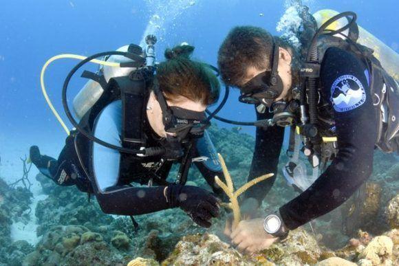Para construir el vivero se han tomado muestras de corales de 20 sitios distintos de la península, buscando una mayor diversidad genética. Foto: Víctor Isla.