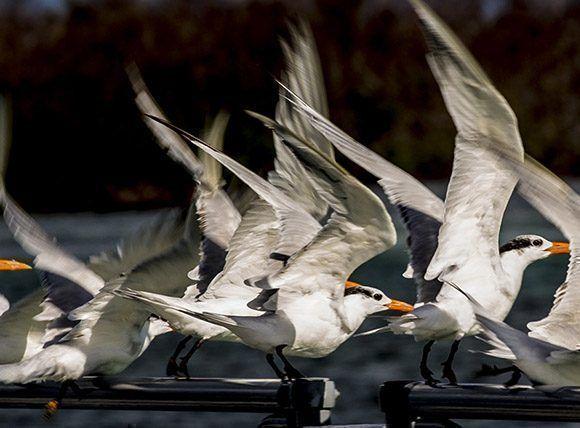 Colonia de aves en Cayo Santa Maria. Foto: Ismael Francisco/ Cubadebate.