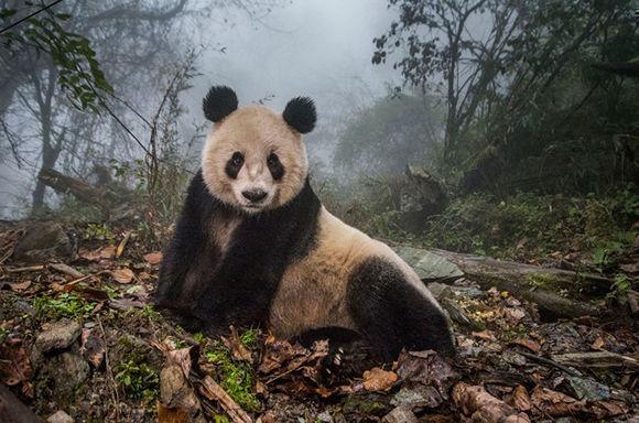 """Ami Vitale ha conseguido el premio a """"Historia"""" gracias su serie fotográfica sobre el Panda Gigante, a través de la que quiere mostrar los esfuerzos de los científicos y conservacionistas chinos por la conservación de esta especie de oso y su hábitat."""