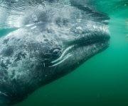 Un turista en un bote en Laguna San Ignacio se mete en el agua con la esperanza de acariciar a una de las muchas ballenas grises que frecuentan la bahía para aparearse y cuidar a sus crías. Foto: Thomas P. Peschak/ National Geographic