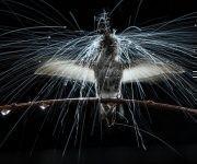 Los colibríes a menudo desafían los aguaceros para recolectar el néctar necesario para evitar la inanición. El colibrí de Anna sacude la lluvia como lo hace un perro mojado, con una oscilación de su cabeza y cuerpo. Foto: Anand Varma/ National Geographic