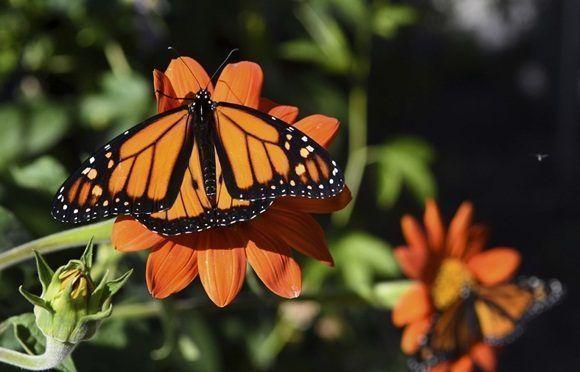 La migración de mariposas monarcas. Foto: AP.