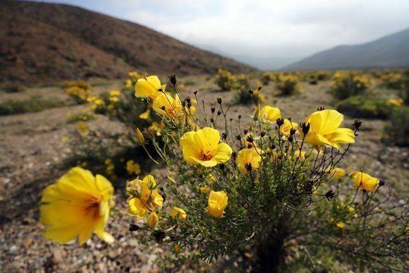 Florece el desierto más árido del mundo. Foto: EFE.