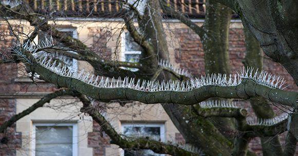 """Muchos residentes de Bristol han expresado su indignación por las púas """"anti-pájaros"""" colocadas en los árboles. Foto. SWNS."""