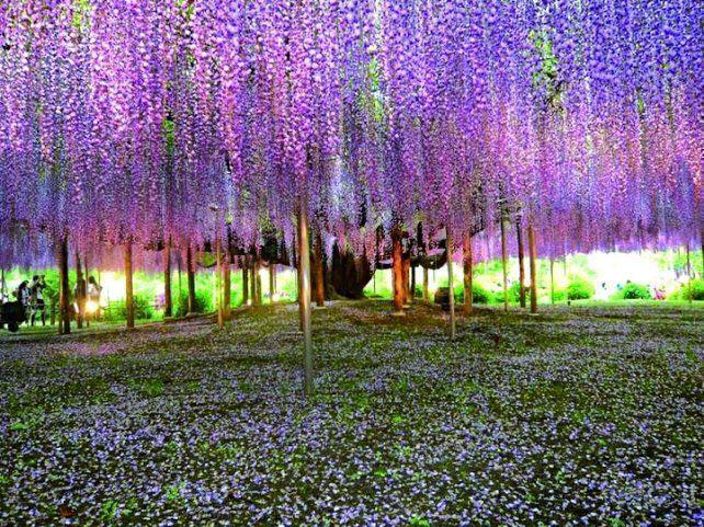 Ciudad japonesa de Tochigi atesora el árbol Wisteria más lindo del planeta