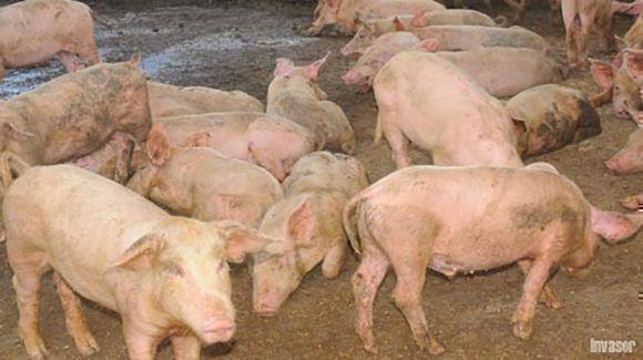 Empresa porcina. Foto: Nohema Díaz/ Invasor.