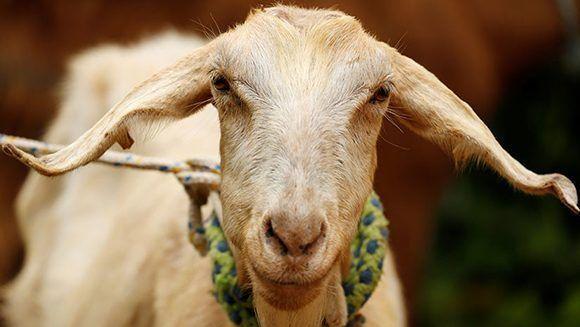 ¿Acertará? Una cabra predice quién será el ganador del Mundial Rusia 2018