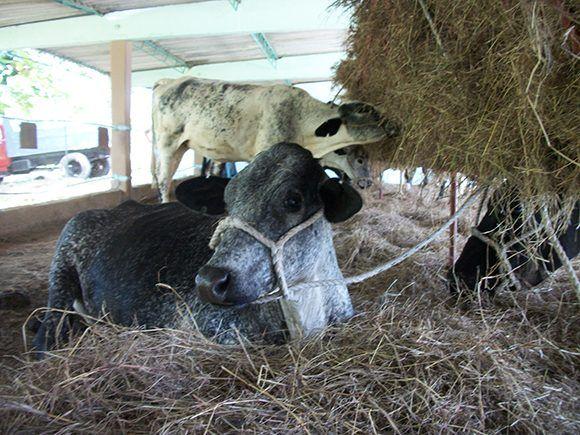Resguardadas unas 40 mil cabezas de ganado en Camagüey