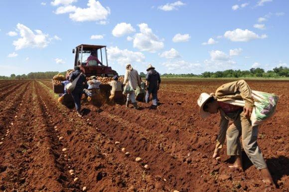 Siembra de papa en Ciego de Ávila: Más de 600 hectáreas y continúan las plantaciones