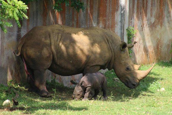 Nace rinoceronte blanco en el Zoológico Nacional de Cuba