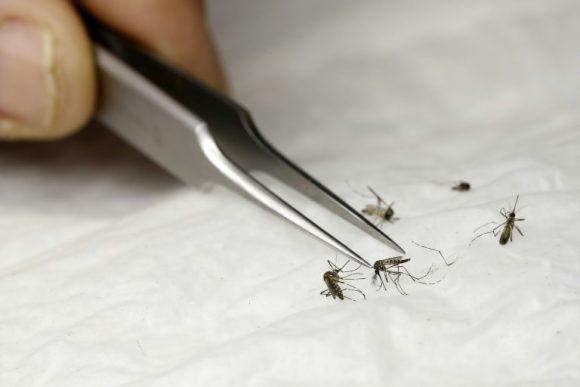 Especialistas cubanos realizan prueba para el control del Aedes aegypti con insectos estériles