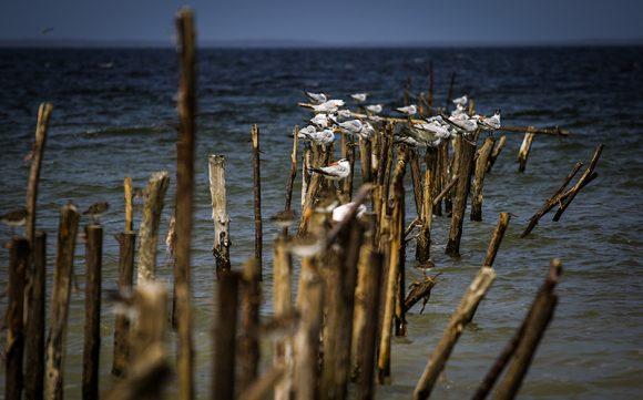 Cerca de la costa huele a mar y descansan las gaviotas. Foto: Irene Pérez/ Cubadebate.