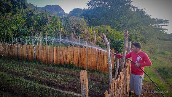 Gabriel riega su sembrado de ajos. Foto: Ismael Francisco/ Cubadebate.